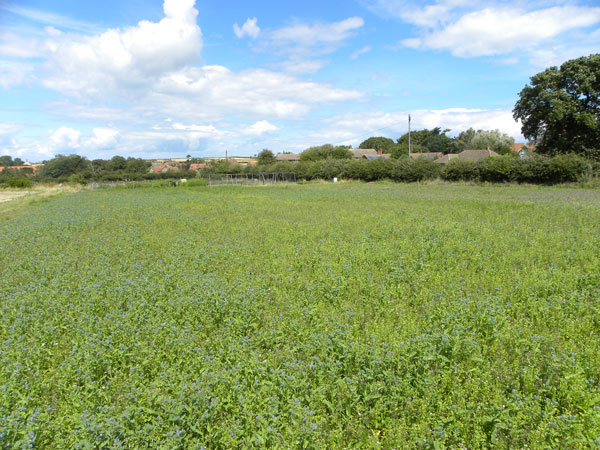 a shiny new blanket of bugloss and fumitory July 2020