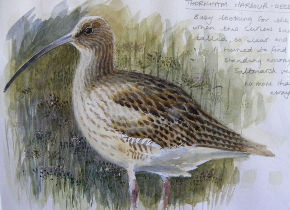 Chris Orgill - Curlew - watercolour sketch with notes