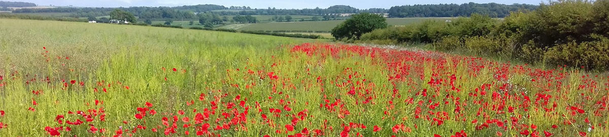 Poppies galore! Peddars Way South